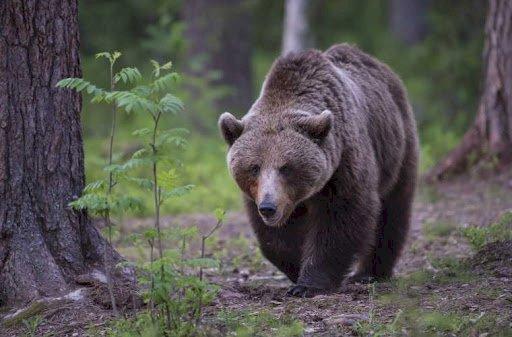 Trentino, fallimentare gestione del progetto Life Ursus