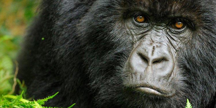 Nello zoo di Praga gorilla e due leoni positivi al Covid-19