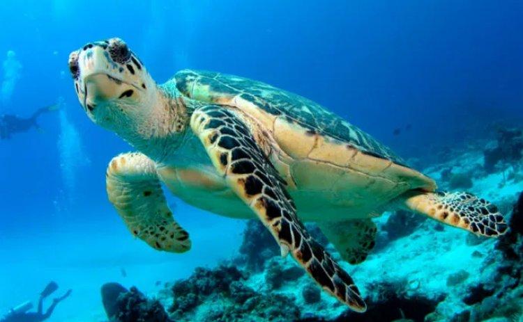 Scienziati trovano per la prima volta la plastica nei muscoli delle tartarughe marine