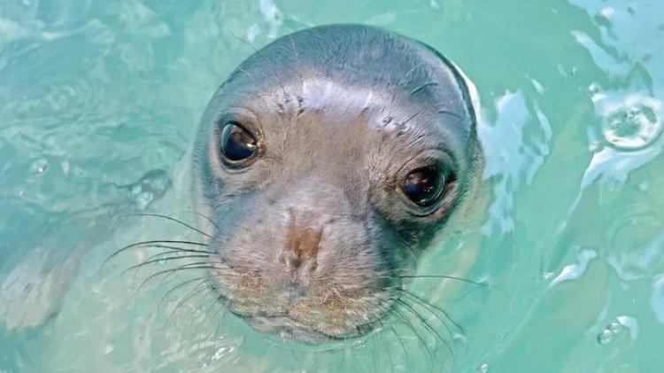 La foca Kostis, mascotte di una piccola isola greca, è stata uccisa con un arpione