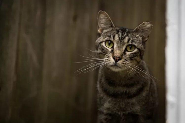 Un francese ritrova il suo gatto in Svizzera, quattro anni dopo averla persa in Italia
