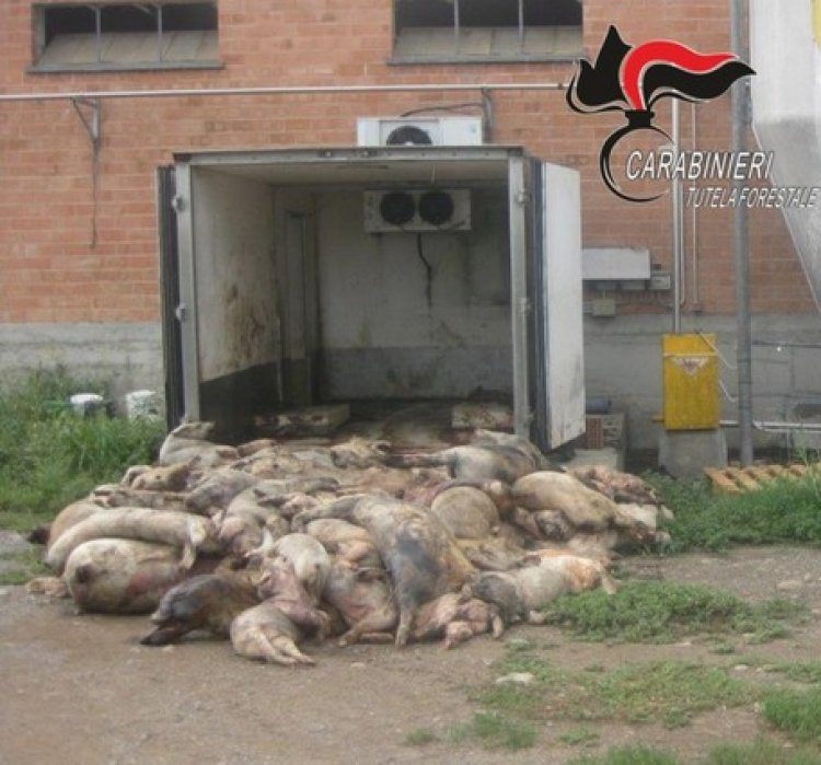 Cuneo, maiali mangiavano animali morti
